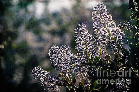 Mountain Lilacs by Pamela Moran