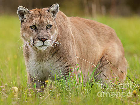 Mountain Lion 1 by Jerry Fornarotto