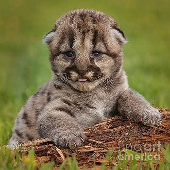 Mountain Lion Cub by Jerry Fornarotto