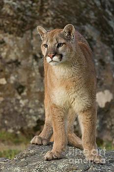 Mountain Lion Pose by Tibor Vari