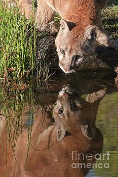Mountain Lion Reflection by Tibor Vari