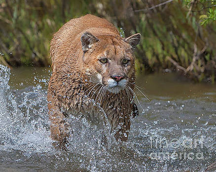 Mountain Lion running in Stream by Jerry Fornarotto