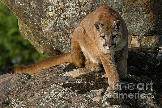 Mountain Lion Stalking  by Tibor Vari
