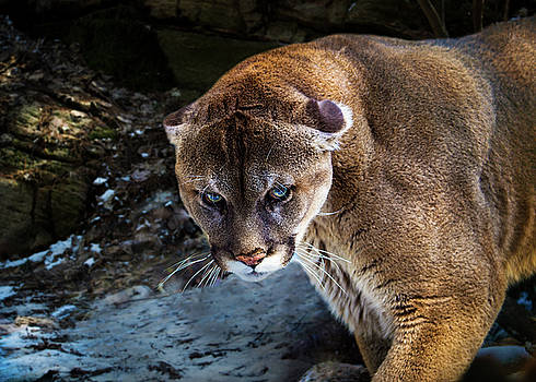 Mountain Lion Stare Down by Tracy Munson