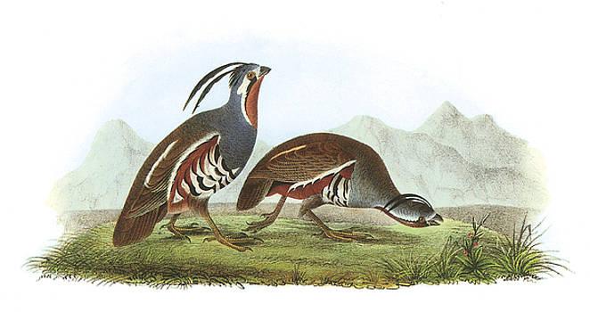 John James Audubon - Mountain Quail