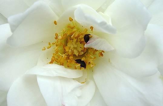 Mountain Snow Rose by Sandra Sengstock-Miller