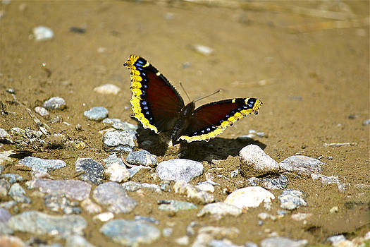 Mourning Cloak Butterfly by Bianca Collins