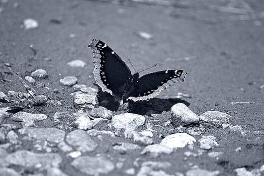 Mourning Cloak Butterfly Black and White by Bianca Collins