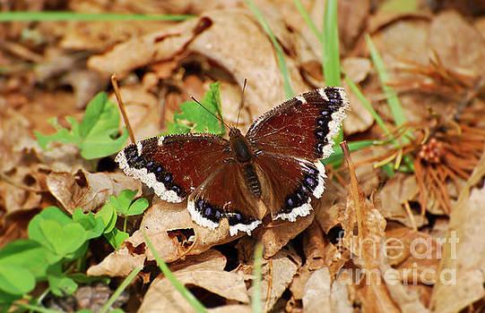 Mourning Cloak Butterfly - Butterfly of Spring by Kerri Farley