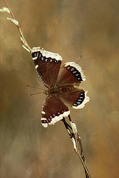 Mourning Cloak Butterfly by Cindi Ressler