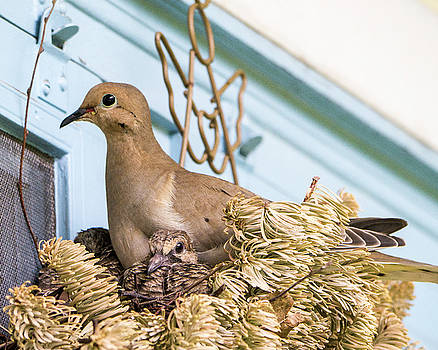 Mourning Dove and Chicks 4 by Steven Ralser