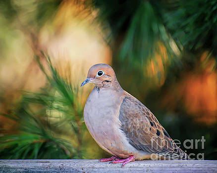 Mourning Dove Bathed in Autumn Light by Kerri Farley of New River Nature