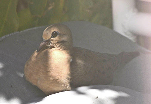 Mourning Dove Chick Returns by Jay Milo
