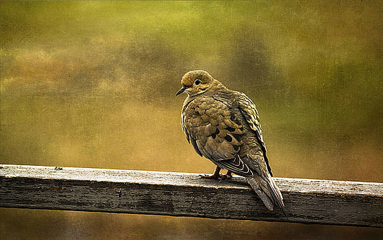 Mourning Dove by Cindi Ressler
