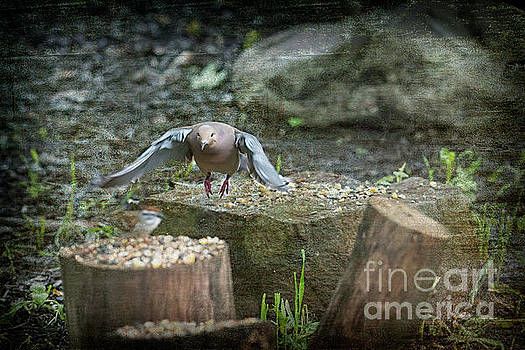 Dan Friend - Mourning dove flying to next log