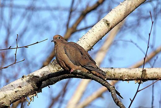 Debbie Oppermann - Mourning Dove In Birch Tree