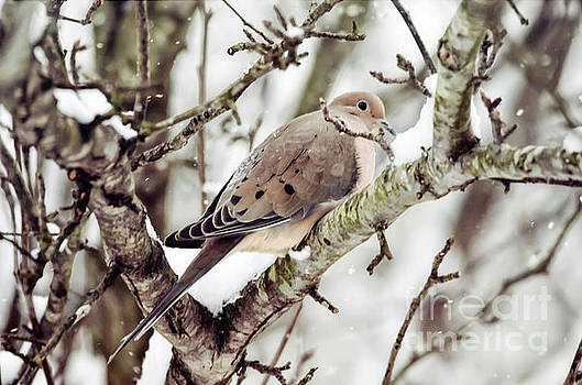 Mourning Dove in the Snow by Kerri Farley
