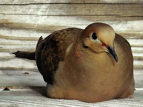 Mourning Dove by Lita Kelley