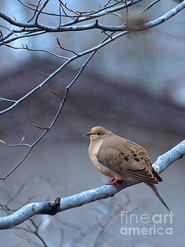 Mourning Dove On A Cool Sprng Day by Dorothy Lee