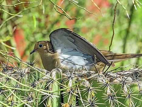 Tam Ryan - Mourning Dove on Nest