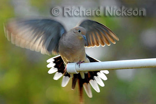 Mourning Dove by Richard Nickson
