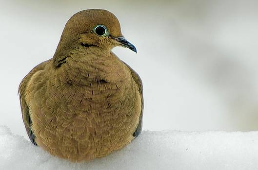 Mourning Dove by Winnie Chrzanowski