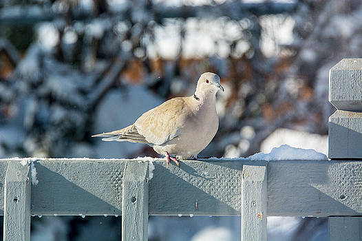 Mourning Dove winter by Linda Larson