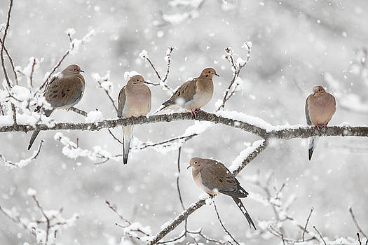 Five Mourning Doves in a Snow Storm by Scott Leslie