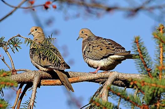 Debbie Oppermann - Mourning Doves In Spring