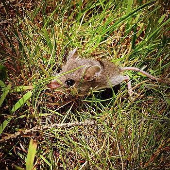Mouse In Grass. #mouse #animal #rodent by Amanda Richter