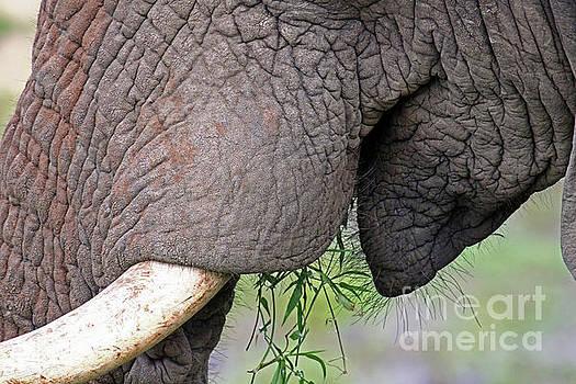 Mouth of an elephant, Africa wildlife by Wibke W