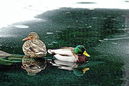 Debbie Oppermann - Mr And Mrs Mallard I