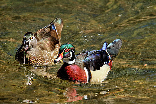 Mr. and Mrs. Wood Duck by Geraldine Scull