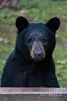 Mr Bear by Buddy Morrison