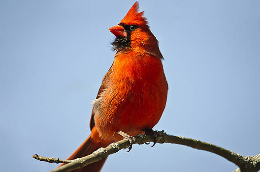 Mr. Cardinal in his red glory.... by Christine Kapler