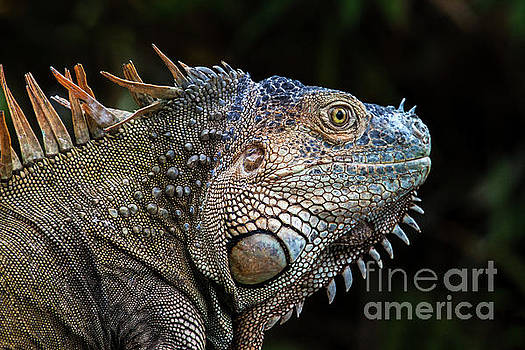Mr. Iguana by George Cathcart