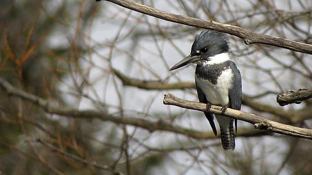 Mr. Kingfisher by Kimberly Mackowski