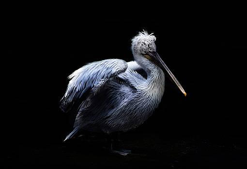 Mr. Pelican by Claudia Moeckel