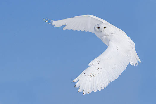Mr Snowy Owl by Mircea Costina Photography