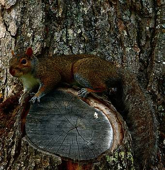 Mr. Squirrel by Sherman Perry