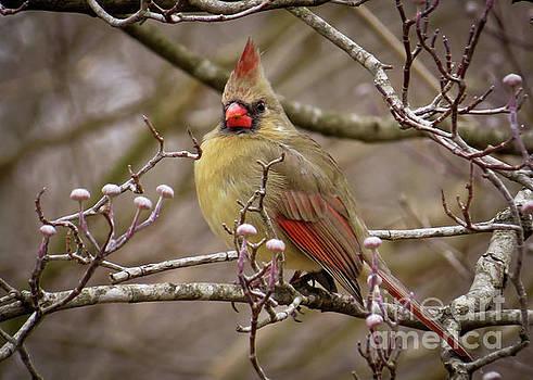 Mrs Cardinal by Douglas Stucky