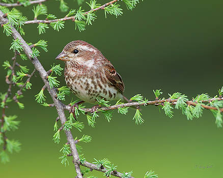 Ms Purple Finch by Gerry Sibell