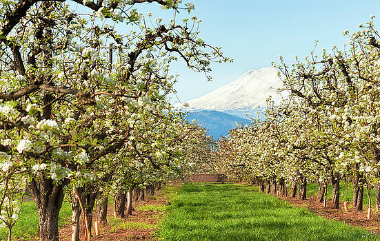 Mt. Hood and Blooming Orchard by Dee Browning