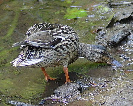 Kathy Kelly - Muddy Mallard