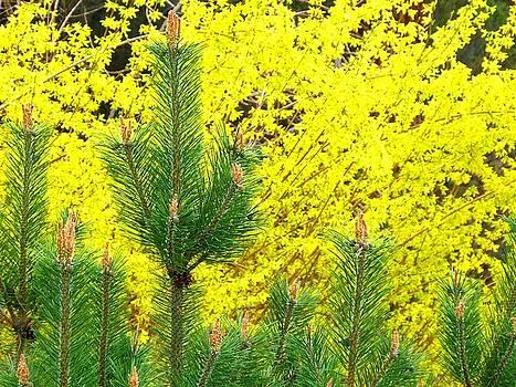 Mugo Pine And Forsythia by Will Borden