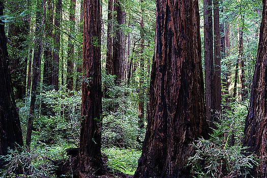 Muir Woods 2 by Megan Swormstedt