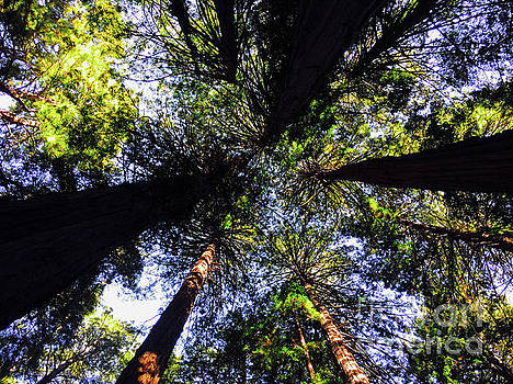 Muir Woods - Looking Up by Jason Sullivan