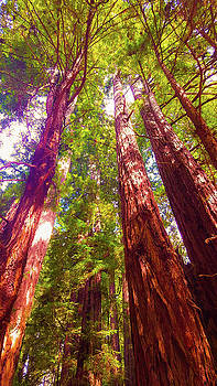 Muir Woods sequoia by Petros Illustrations