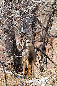 Steve Krull - Mule Deer Does in Red Rock Canyon
