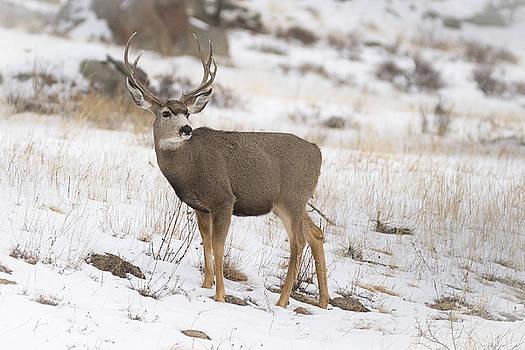 Garett Gabriel - Mule Deer